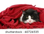 Stock photo black and white cat laying under red blanket on white background 60726535