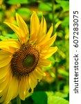 Sunflower Field In Thai Countr...