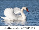 the mute swan. | Shutterstock . vector #607286159