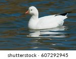 Ross' Goose Swimming In The...