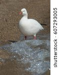 Ross' Goose Wading In The Surf...