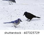 Great Tailed Grackle On Snow....