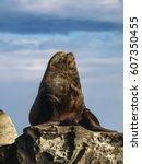 Steller Sea Lion Snoozer Huge...