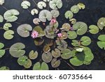 Pink Water Lilies On A Local...