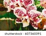 Beautiful Cymbidium Orchid