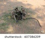 gray langur monkey langurs... | Shutterstock . vector #607386209