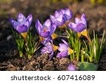 Purple Crocuses In The Garden....