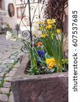 Small photo of closeup of Daffodils in the street in a typical alsatian village