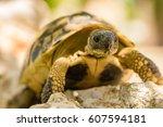 Turtle  Grecian Tortoise ...