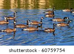 Groups Of Canadian Goose...