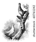 Willow Grouse both winter and summer. Illustration originally published in Hesse-Wartegg