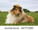 Sable Collie  Rough