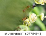 Two Red Ants On Flowers Of...
