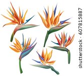 strelitzia reginae flower  bird ... | Shutterstock .eps vector #607815887