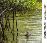Small photo of A side view of an American black duck swimming under mangrove tree branches in a river
