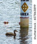 Small photo of A close up of an American black duck as it swims by the signage designating the area for swimming