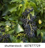 Hedera Helix  Common Ivy ...