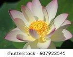 Pink And Purple Lotus Flower