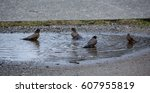 Natural Bird Bath: Four birds taking a bath in a puddle.