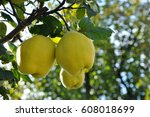 Quince On Branch. Organic...