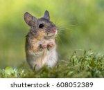 Erect Sitting Wood Mouse ...