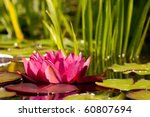 Red Water Lily With Water...