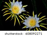Two Flower Of Dragon Fruit In...