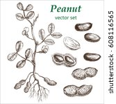 peanut  plant set. the... | Shutterstock .eps vector #608116565
