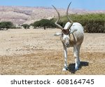 Small photo of The antelope addax (Addax nasomaculatus) known as the screw-horn antelope. Due to danger of extinction the species was introduced and acclimatized in nature reserve near Eilat, Israel