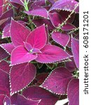 Small photo of purple coleus leaves background