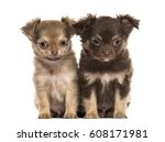 Two Puppies Chihuahua  2 Month...