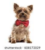 yorkshire with a red bow tie... | Shutterstock . vector #608172029