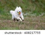 White Samoyed Dog Playing With...