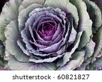 Ornamental cabbage - stock photo