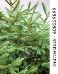 green prickly branches of a fur ... | Shutterstock . vector #608229899