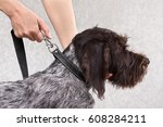 hands fastening the leash to... | Shutterstock . vector #608284211