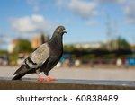 Grey City Pigeon