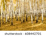 Autumn  Birch Forest Background