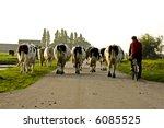 Farmer Bringing His Cows To Th...