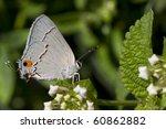 A Gray Hairstreak Butterfly...