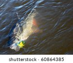 Chub caught on spinning bait, copy space - stock photo