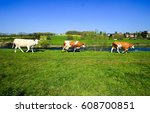 cow herd walking on river shore ... | Shutterstock . vector #608700851