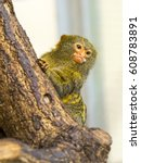 pygmy marmoset  the smallest... | Shutterstock . vector #608783891