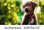 Happy Brown Labrador Retriever...