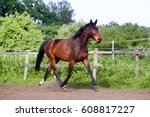 brown horse running home in the ... | Shutterstock . vector #608817227