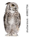 Stock photo great horned owl bubo virginianus subarcticus in front of white background 60882706