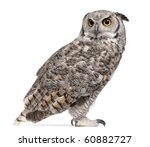 Stock photo great horned owl bubo virginianus subarcticus in front of white background 60882727
