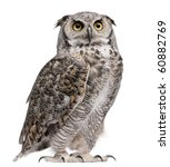 Stock photo great horned owl bubo virginianus subarcticus in front of white background 60882769