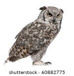 Stock photo great horned owl bubo virginianus subarcticus in front of white background 60882775