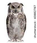 Stock photo great horned owl bubo virginianus subarcticus in front of white background 60882787